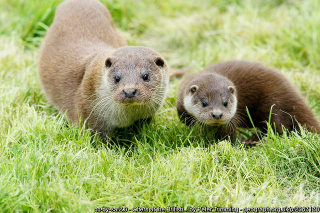Otters at British Wildlife Centre